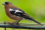 'Chaffinch' by Gerry Simpson ADPS LRPS