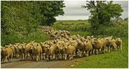 'Here Comes The Sheep' by Gerry Simpson ADPS LRPS