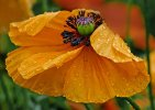 'Poppy In The Rain' by Gerry Simpson ADPS LRPS