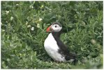 'Puffin Emerges' by Ian Atkinson ARPS