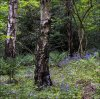 'Late Bluebells' by John Thompson ARPS EFIAP CPAGB