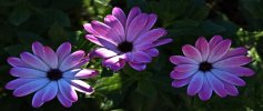'Daisies' by Peter Downs LRPS